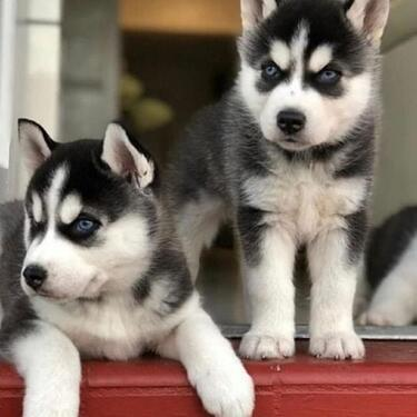 High grade kci and vaccinated blue eyes siberian husky puppi