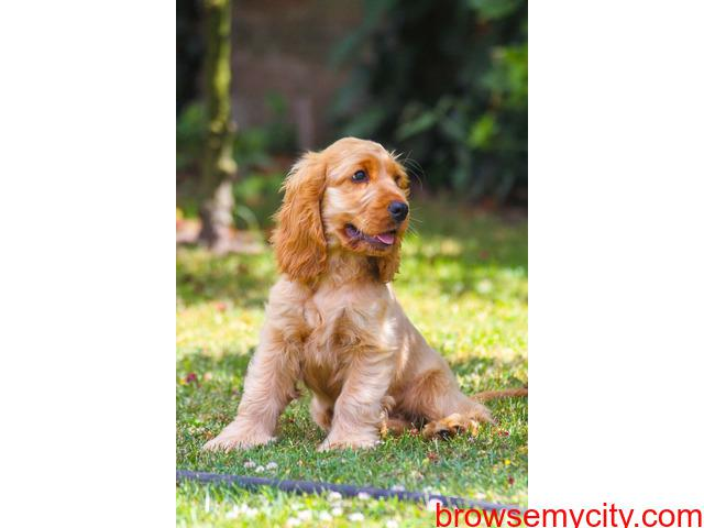 English cocker spaniel puppies for sale