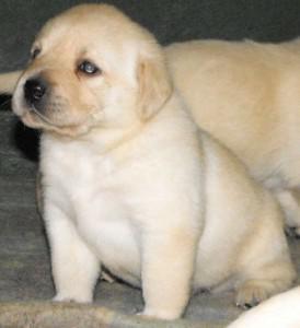 Labrador puppies available whatsap no 917976168974