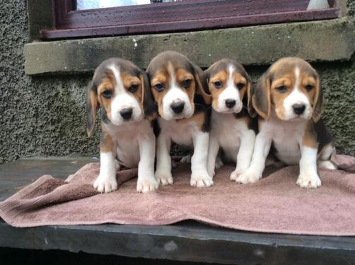 Beagle puppies available for sale and adoption with a perfec