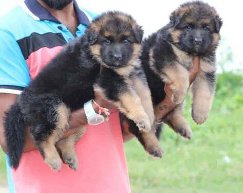 Active vacinated kci german shepherd puppies 4 sale today wi