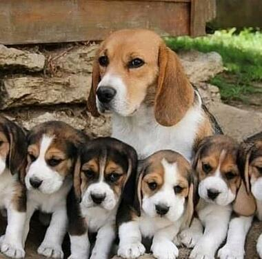 Heavy bone beagle puppies for sale both male and female avai