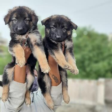 Active vacinnated kci german shepherd puppies for sale today