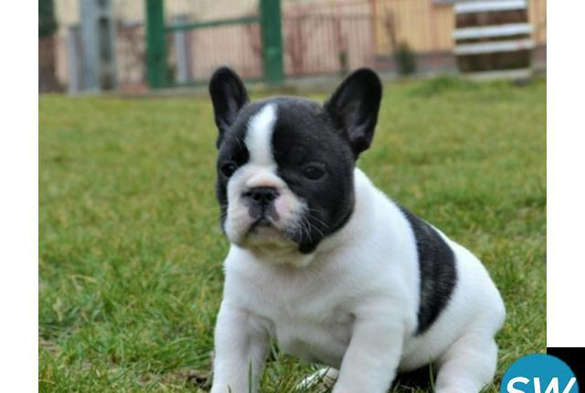 Healthy and cute french bulldog puppies available for lovely
