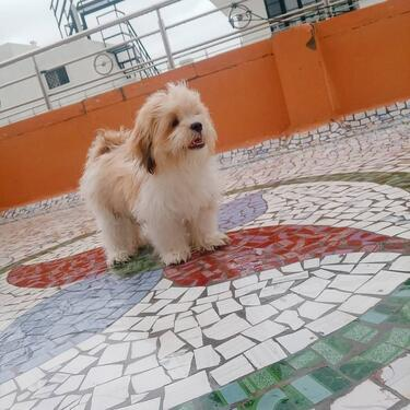 We have healthy and kci registered lahsa apso puppies male