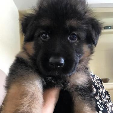 We have a male a female german shepherd puppies for sale
