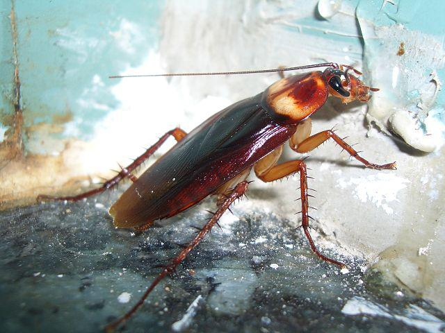 Getting rid of Cockroaches in the house