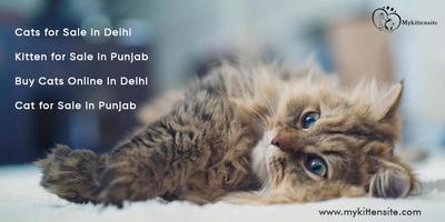Cats/kittens for sale in delhi