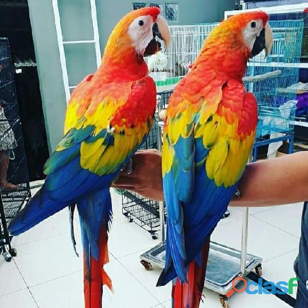 Scarlet macaws parrots for sale