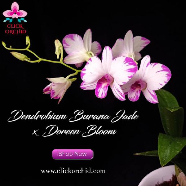 Buy dendrobium orchids online india | best place to buy